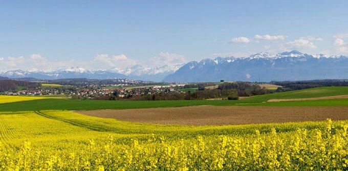 Rapsfelder in der Schweiz mit den Alpen im Hintergrund