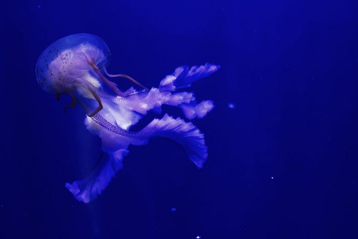 Qualle im Oceanografik, dem Aquarium in Valencia