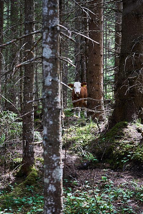 Kuh im Wald in der Gleirschklamm