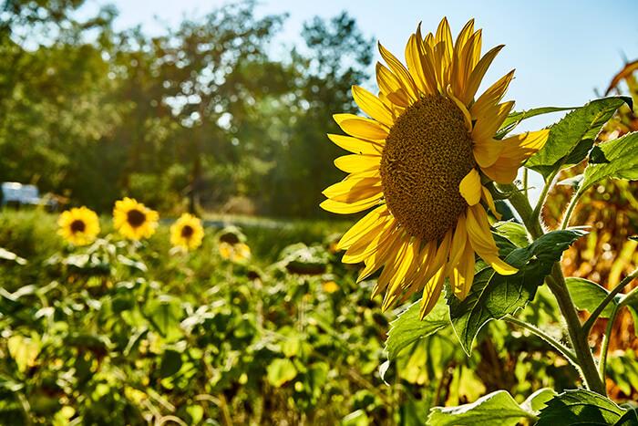 Reisen verändert Sonnenblume im Herbst