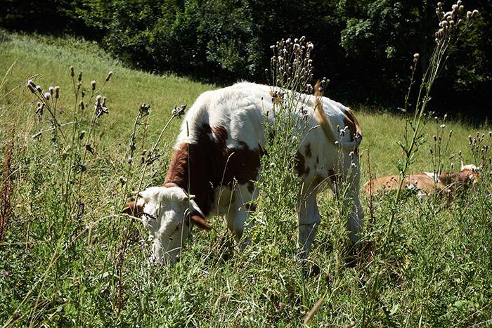 Kühe beim Wandern