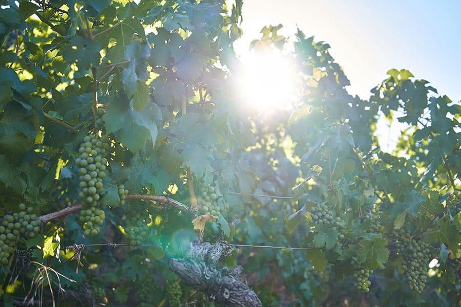 Weintrauben in Churfranken