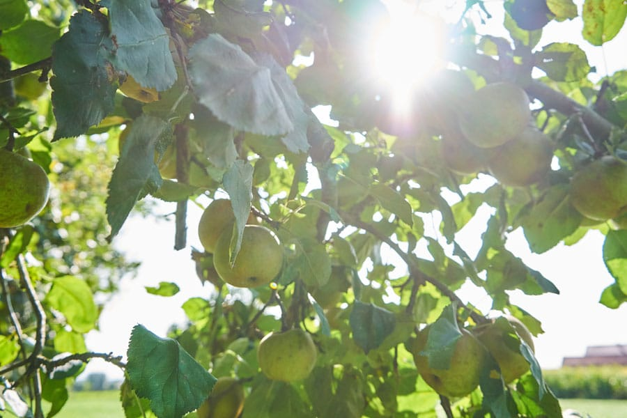 apfelbaum im herbst in bad griesbach