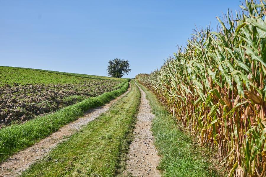 Wanderweg und maisfelder