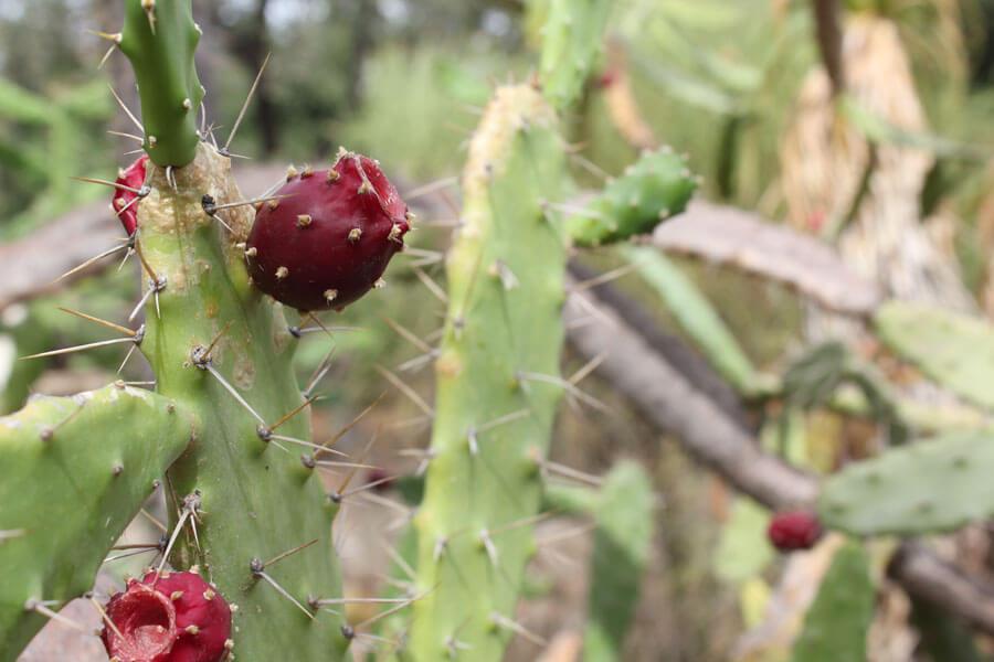 Kaktusfeigen am Kaktus