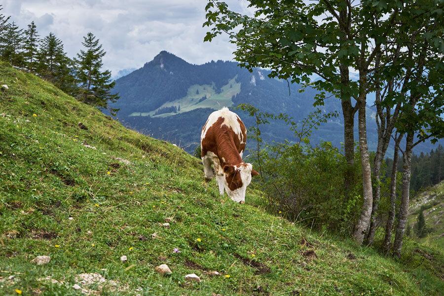 umgang mit kühen beim Wandern